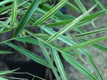 White striped bamboo