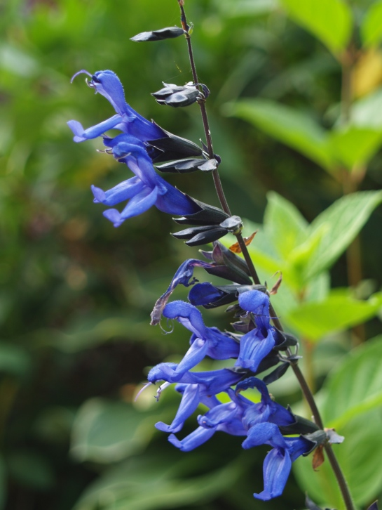 Black and Blue salvia in late June