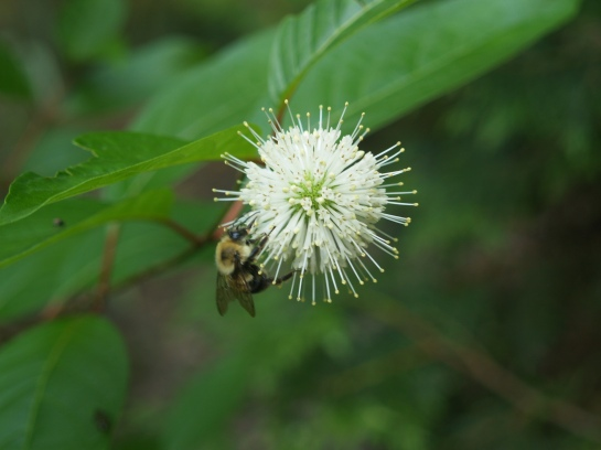 Buttonbush (Cephalanthus occidentalis) thrives in standing water. Bees and butterflies flock to its flowers.