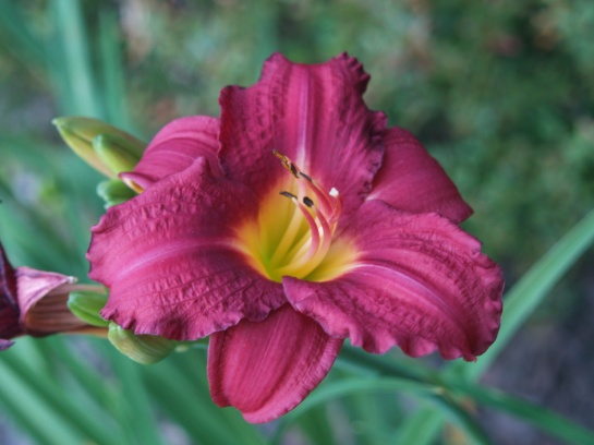 Pardon Me daylily in June