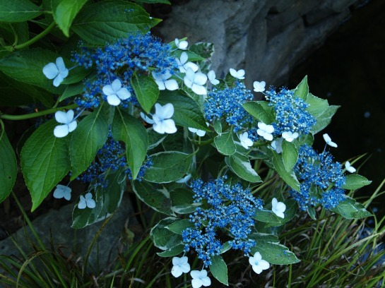 Variegated Maresi hydrangea in early July