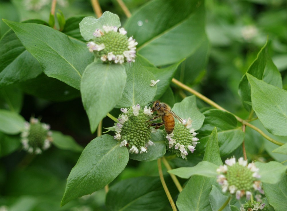 A bee on Mountain Mint in mid July