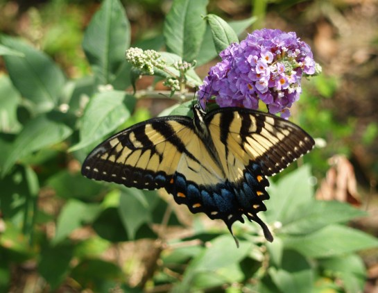 Eastern Tiger Swallowtail butterfly on butterfly bush in mid July