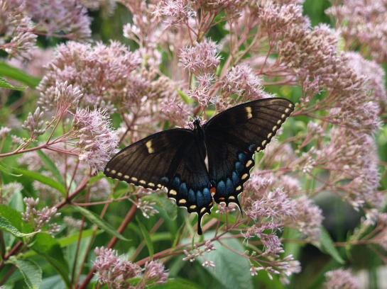 Female Eastern Tiger Swallowtail on Joe Pye Weed in mid July