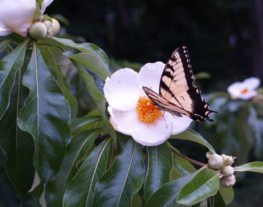 Tiger swallowtail on Franklinia flower in August