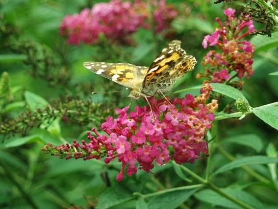 Flowers To Attract Hummingbirds Ramblin 39 Through Dave 39 S