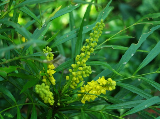 Soft Caress mahonia flowering in early October