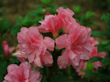 Autumn Carnation Encore azalea in October