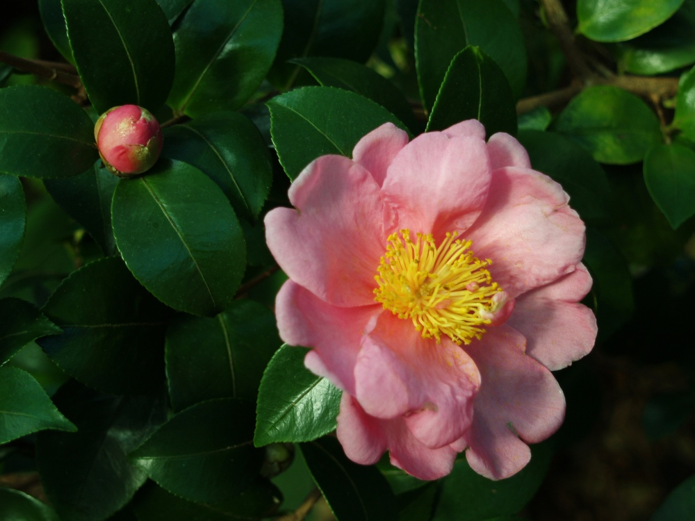 Winter's Interlude camellia