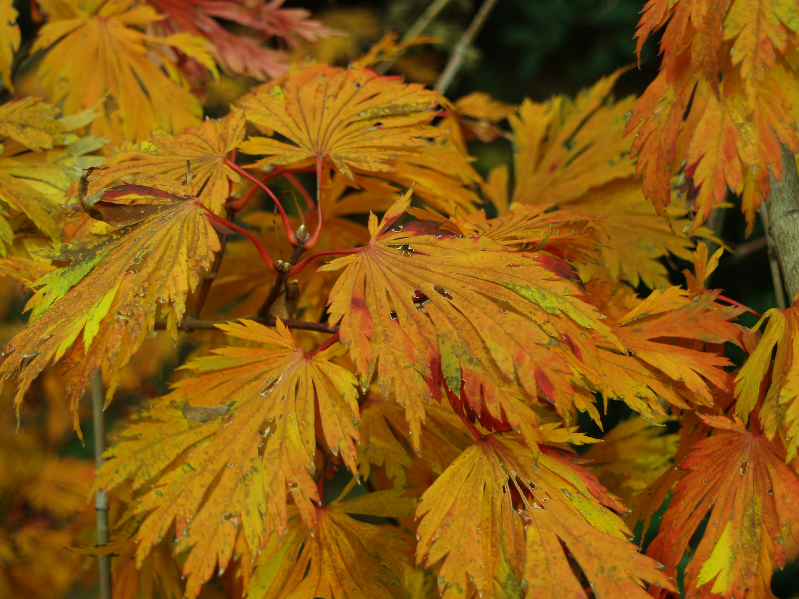 Japanese maples and late season foliage color ramblin Japanese maple leaf