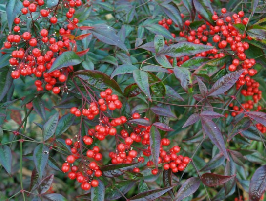 Nandina domestica in late November