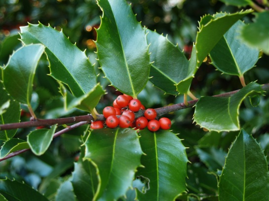 Koehne holly in December