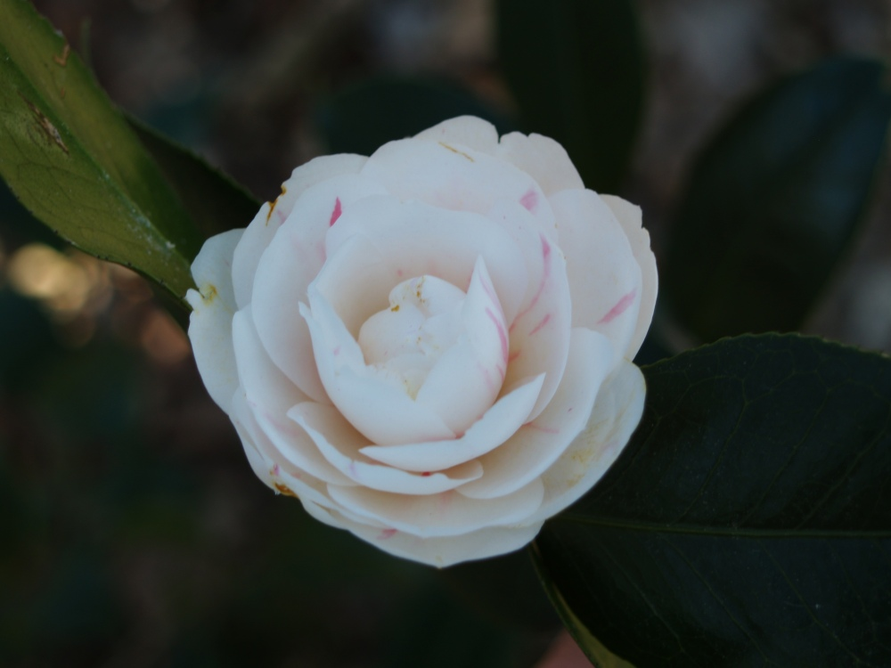 Winter's Snowman camellia in December