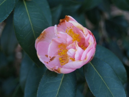 Camellia bloom damaged by cold