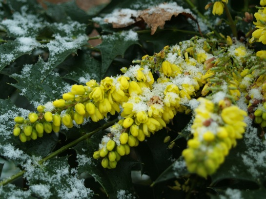 Winter Sun mahonia in January
