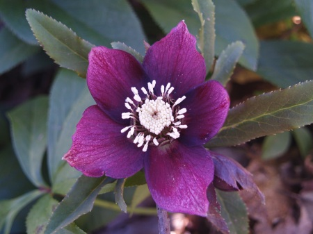 Hellebore in mid January