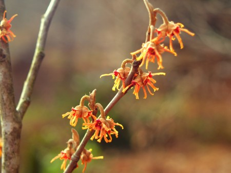 Vernal witch hazel in January