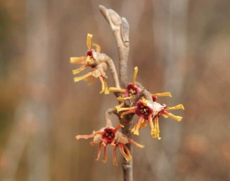 Vernal witch hazel in late January