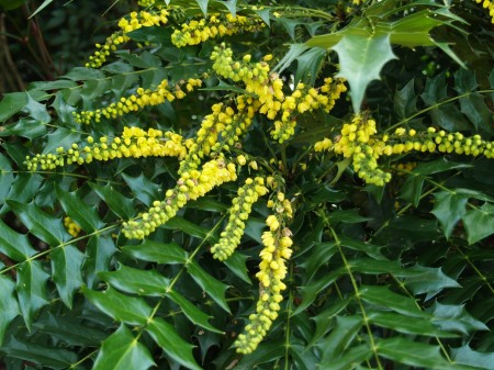 Winter Sun mahonia in January