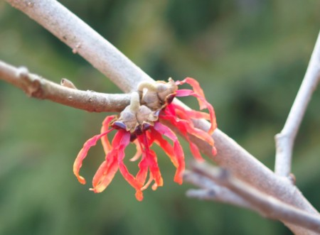 Diane witch hazel in mid February