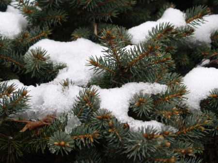 Montgomery spruce