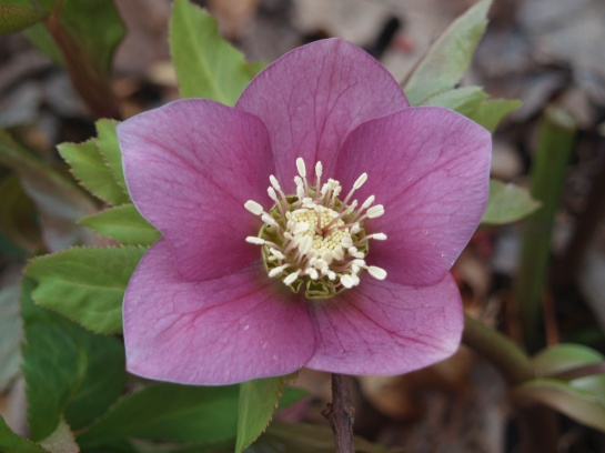 Hellebore in mid February