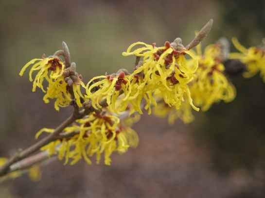 Arnold Promise witch hazel in mid February