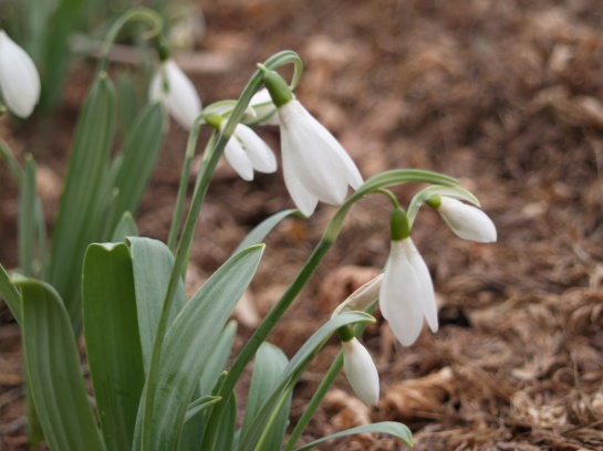 Snowdrops in late February