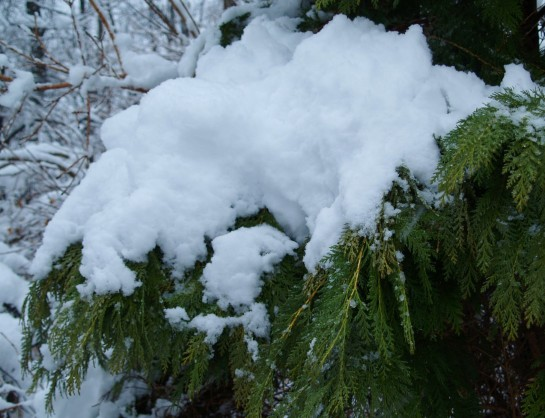 Gold Lawson cypress in March snow