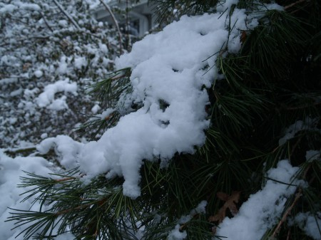 Japanese Umbrella pine in March snow