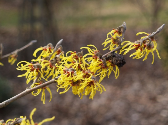 Arnold Promise witch hazel