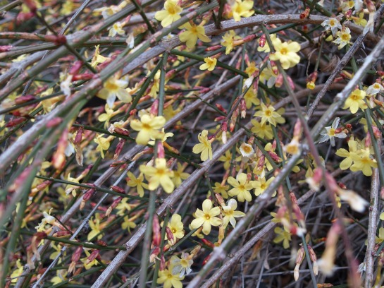 Winter jasmine in early March