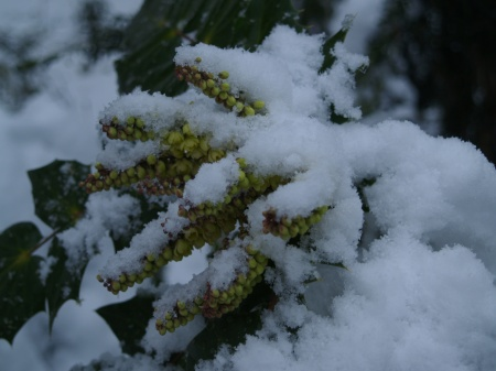 Leatherleaf mahonia blooming in March snow