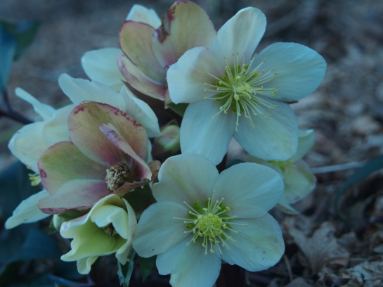 A late flowering hellebore in mid March