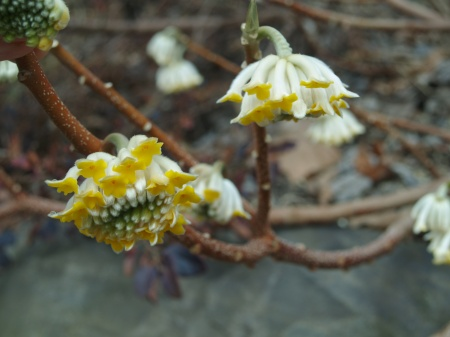 Paperbush flowering in mid March