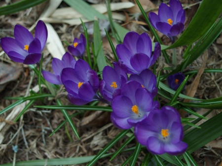 Crocuses in mid March