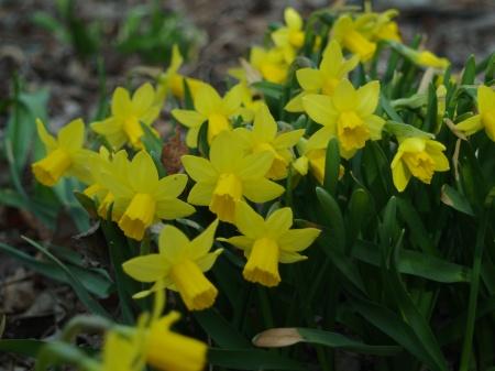 Mini daffodils in mid March