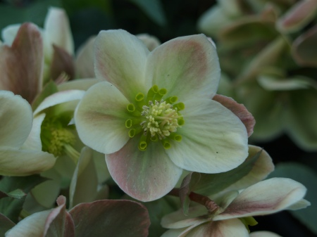Hellebores in bloom, ready to plant
