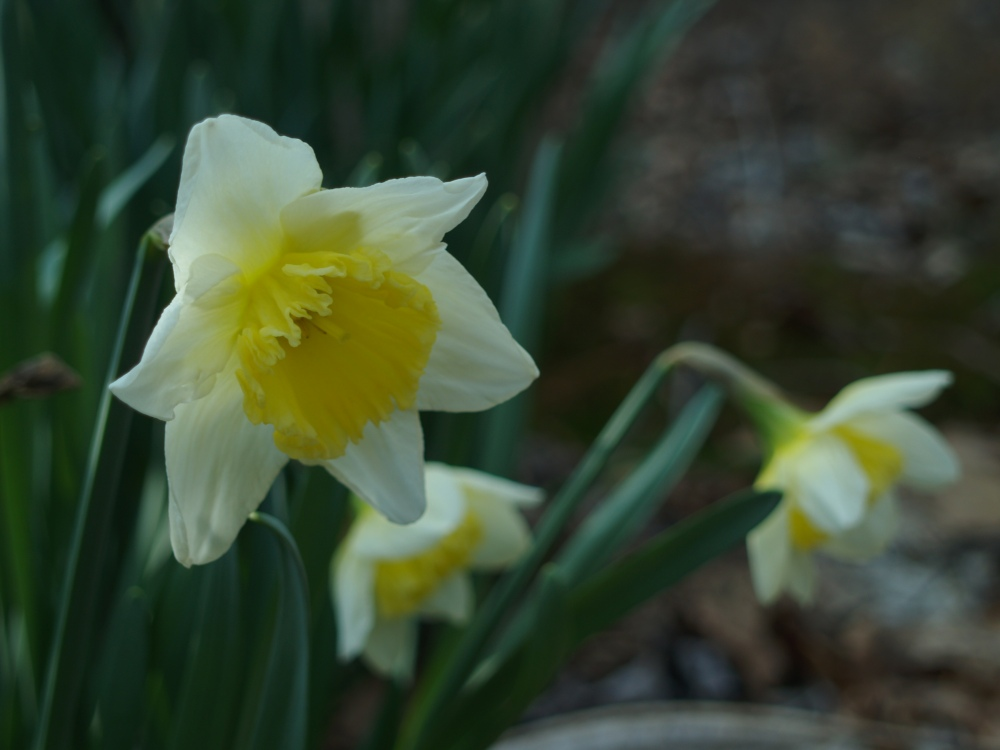 Daffodils in late March