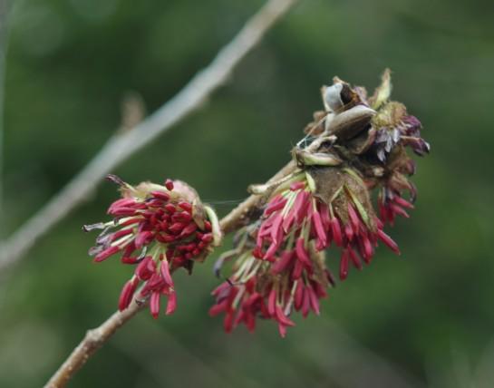 Parrotia blooms