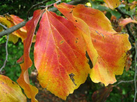 Parrotia_persica_foliage