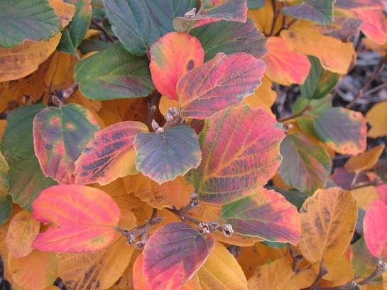 Fothergilla autumn foliage