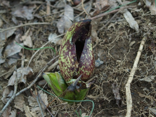 Skunk cabbage in late March