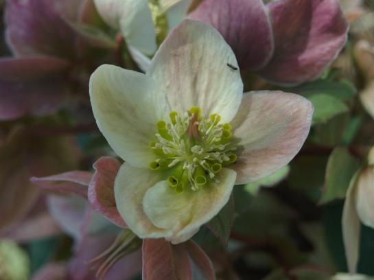 Late flowering hellebore