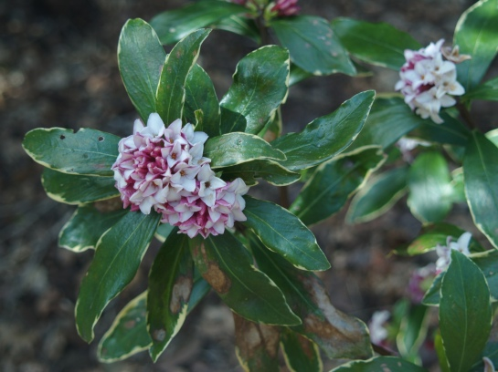 Winter daphne flowering in early April