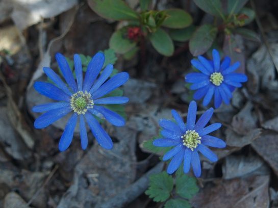 Anemones in the leaf clutter