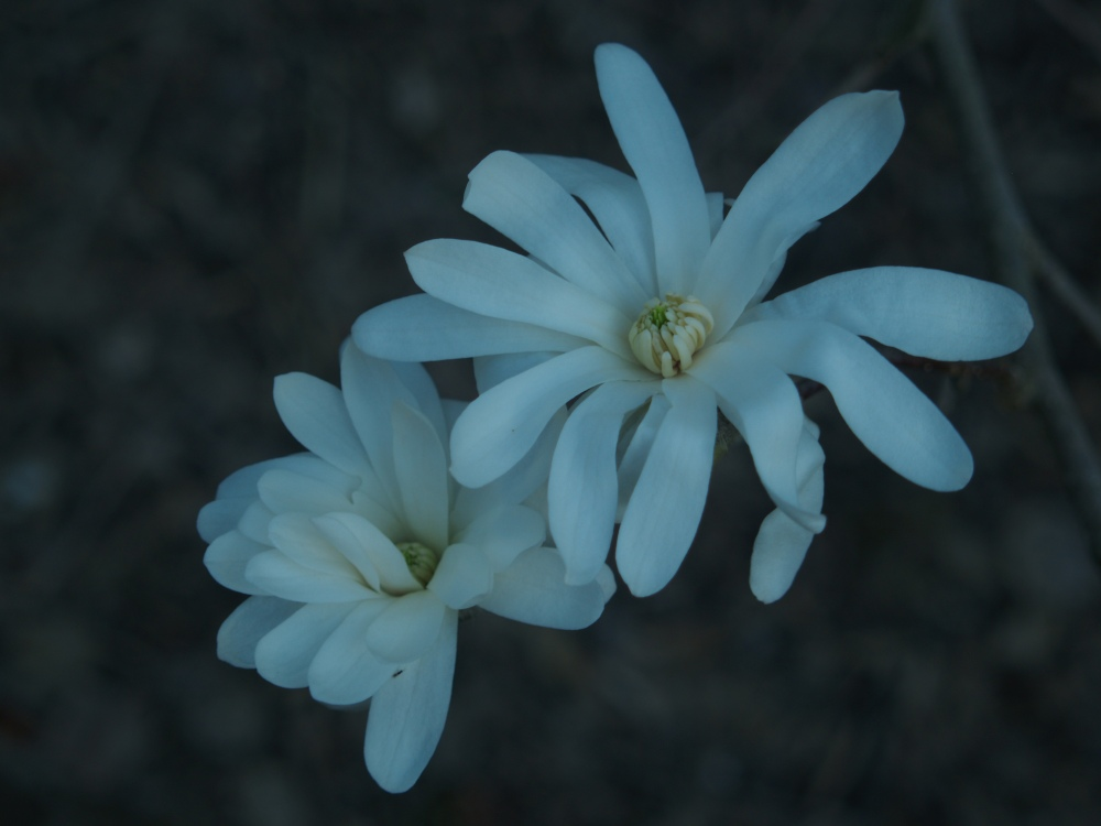 Star magnolia flowers are likely to be damaged in freezing temperatures.