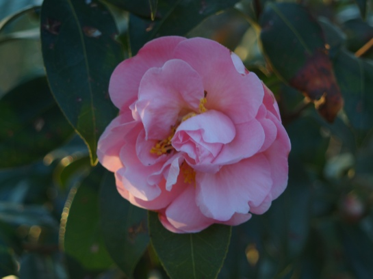 Winter's Star camellia flowering in April