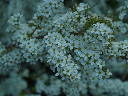 Ogon spirea in April
