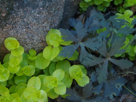 Geranium seedling sprouting through Creeping Jenny